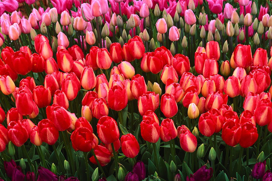 Tulips In Holland. Ester Holland Pitts